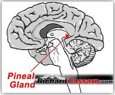 http://www.richardcassaro.com/wp-content/uploads/2011/01/Pineal-Gland1.jpg